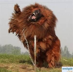 Tibetan Mastiff, Canine Badasstiff