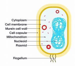 File Simple Diagram Of Bacterium  En  Svg