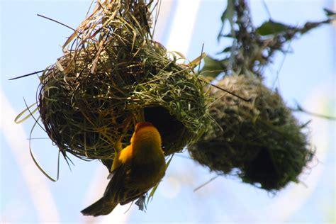 weaver nest file taveta golden weaver nest jpg wikipedia
