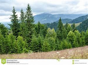 Foggy Morning Landscape With Pine Tree Highland Forest ...