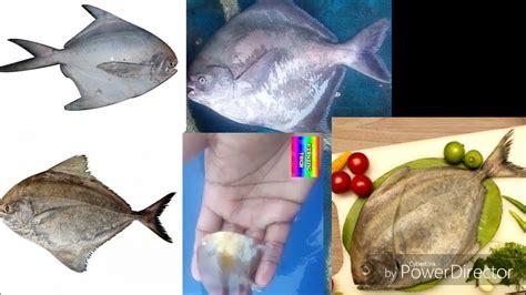 indian halwa fish white pomfret black pomfret chains
