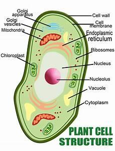 Plant Cells  U2013 Guoyaxin960112