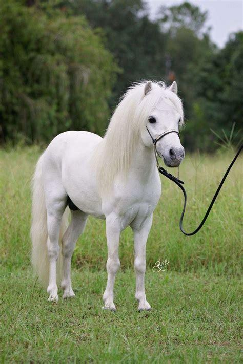 miniature horses horse tiny pony mini ponies farms animal equinenow farm arabiana dogs pretty