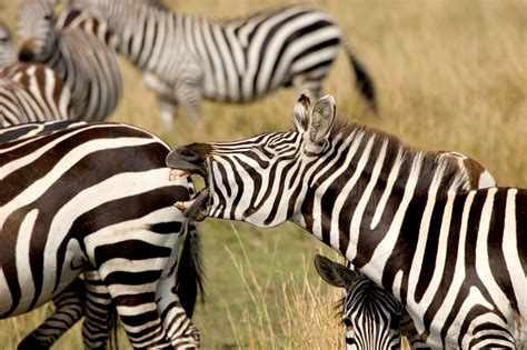 stripes zebras animals nationalgeographic dam why africa intro learning machine evolution connection adapt science study