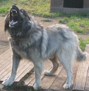 Caucasian Shepherd Dog. Is it really the most aggressive dog?