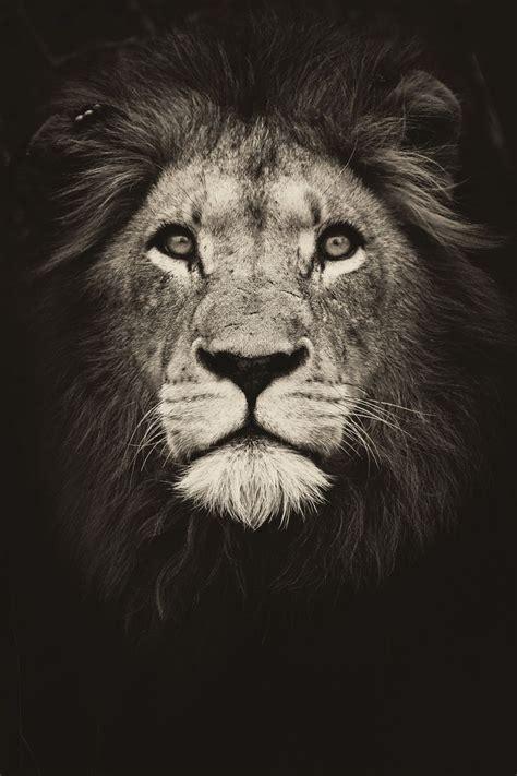 Tattoo Lion Wallpaper
