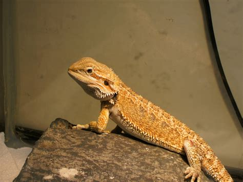 what kind of heat l for bearded dragon bearded dragon not bite
