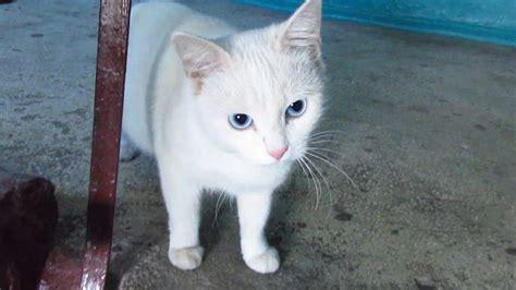 white cat  blue eyes waiting   youtube