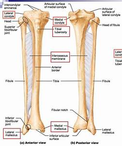 Differences Between The Tibia And Fibula