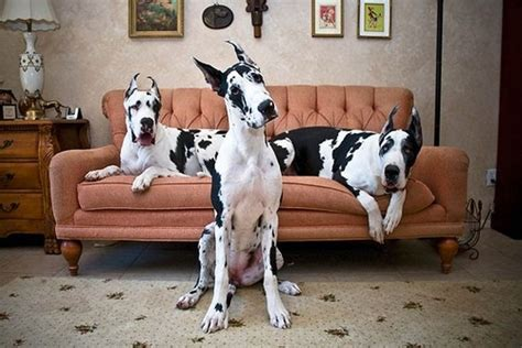 5518 great dane beds 1000 ideas about great dane bed on great