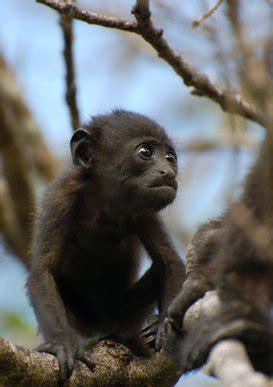 lijst van zoogdieren  colombia wikipedia
