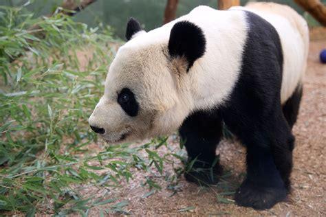 Giant Panda - Zoo Atlanta