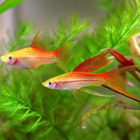 types of freshwater aquarium fish freshwater fish types swordtails 500 x 500 188 kb jpeg