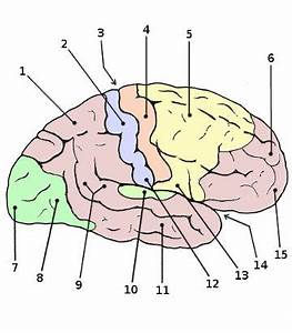 Free Anatomy Quiz - Anatomy of the Brain, Quiz 2 - The ...