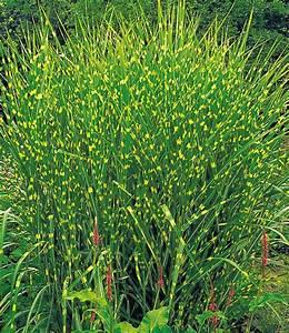 Chinaschilf Im Kübel : zebra gras garten gr ser pinterest garten gras und pflanzen ~ Frokenaadalensverden.com Haus und Dekorationen