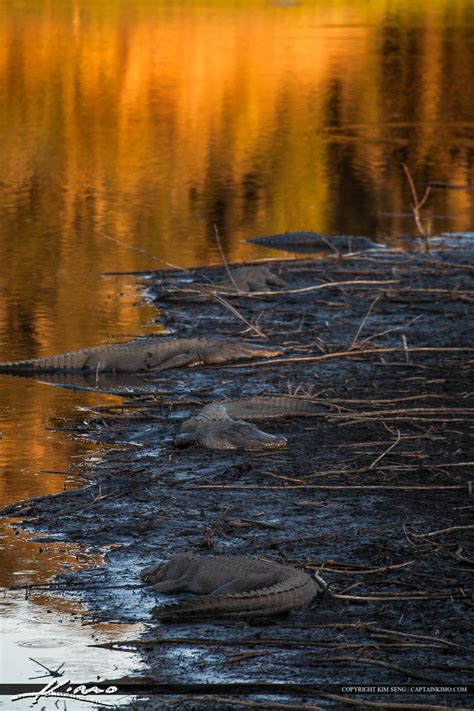 Paynes Prairie Gainesville Florida Alligators Basking in Sun