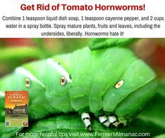 how do i get rid of tomato worms aspergers and quot deep in defense mode quot from the aspergers