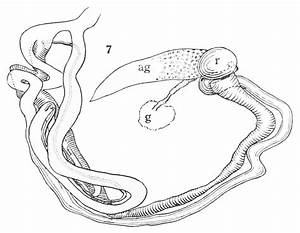 13 Best Images Of Male Reproductive System Diagram