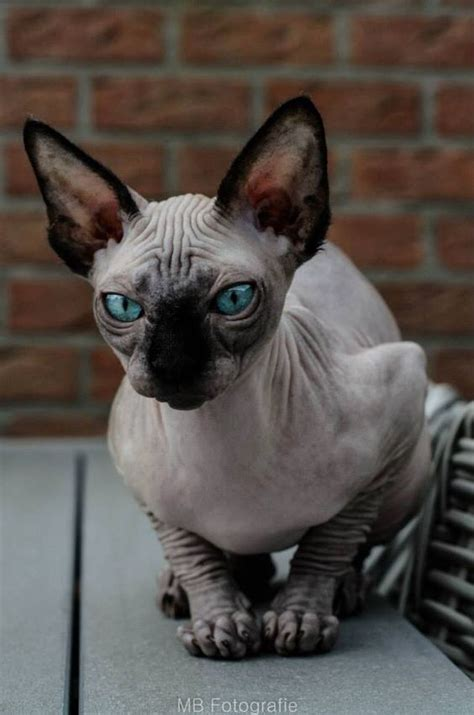 sphynx cats   fascinating intriguing beauty