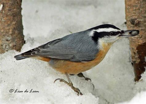 birding with lisa de leon backyard birds common feeder