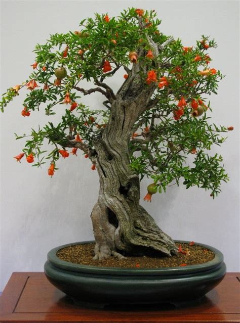 trees  bonsai  bonsai plants balcony