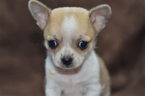 pedigree teacup chihuahua puppies wirral merseyside