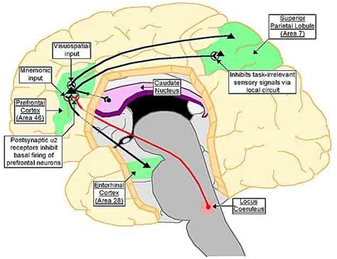 Diagram Of Adhd by More Processes In Adhd Interesting Article But Remember To
