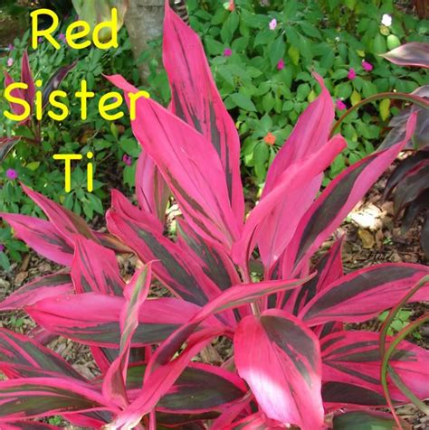red sister hawaiian ti colorful cordyline terminalis