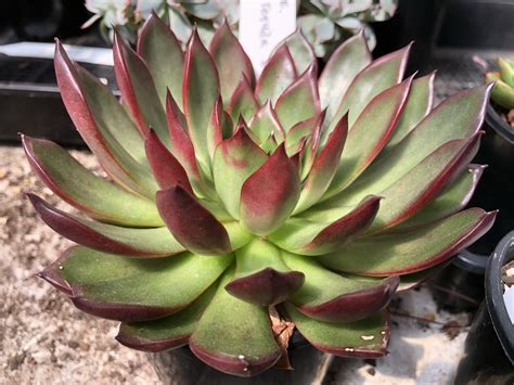 Echeveria agavoides 'Rubra' - Succulents Australia Sales