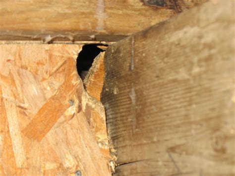 Rat gnawed through wood to gain access into the house