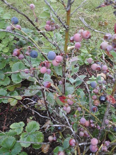 blueberry sunshine blue  edible landscape