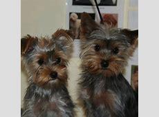 Før og efter billeder af hundene Hundesalon Viborg Skive