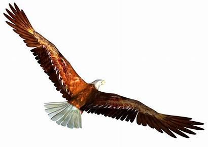 Clip Eagle Flight Resolution Animal Transparent