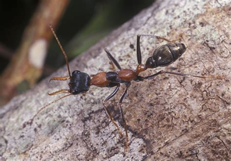 Bull And Jumper Ants