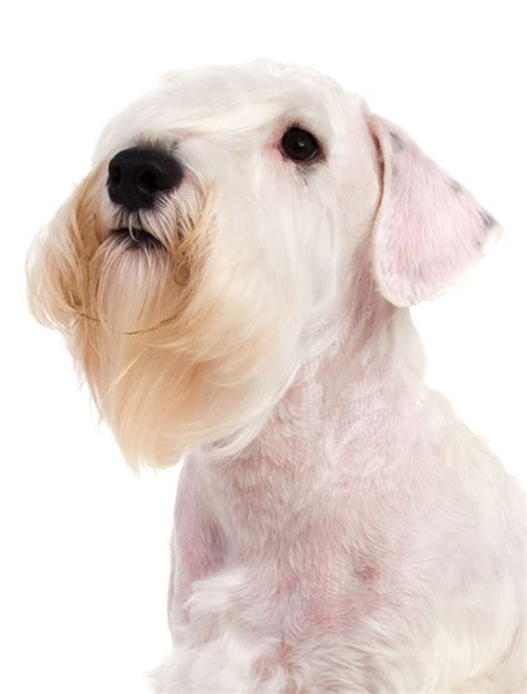 Sealyham Terrier Dog Breed Information Noahs Dogs