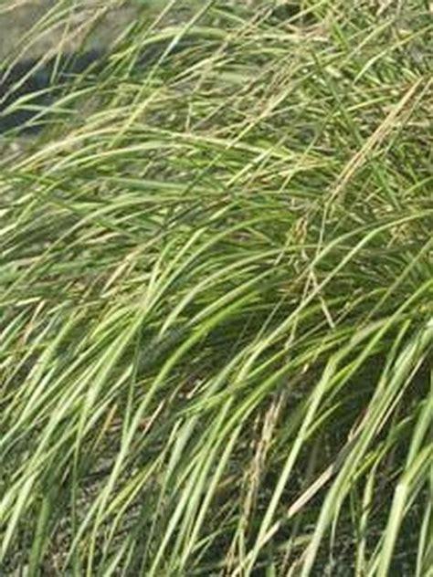 landscape grass types types of ornamental grasses