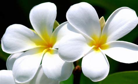 kumpulan gambar bunga kamboja blog bunga