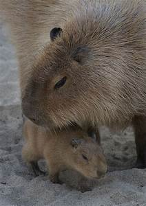 17 Best images about Capybara on Pinterest | Cavy, Pets ...