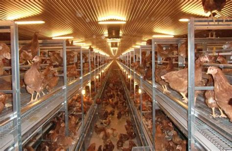 what is a cage free egg are cage free eggs more sustainable than conventional wattagnet