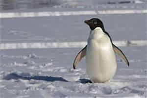 Pingouin Sur La Banquise : pingouin sur la banquise photographie stock libre de droits image 25212207 ~ Melissatoandfro.com Idées de Décoration