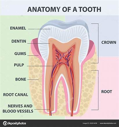 Anatomy Tooth Dental Vector Illustration Infographics Illustratio