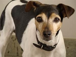 Fotos de cachorros: Fotos de cachorros Fox paulistinha