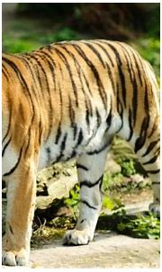 Tigers HD Wallpapers for Windows 7 4K   Tiger wallpaper ...
