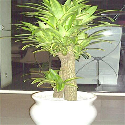 cattalya nursery rental tanaman hias