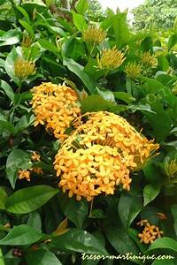 Yellow Ixora coccinea