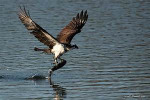 Osprey fishing | scottseyephotos