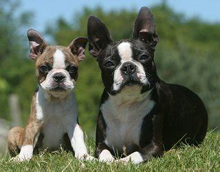 boston terrier shedding boston terriers what s about em what s bad about em