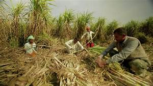 Sugarcane Cultivation Improved In India