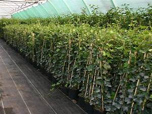 Efeu Pflanzen Kaufen : gro bl ttriger irischer efeu hedera hibernica ~ Michelbontemps.com Haus und Dekorationen