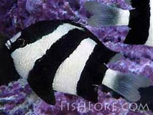 Three Stripe Damselfish